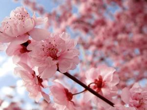 cherry_blossom
